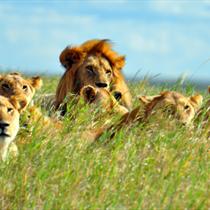 Leoni e leonesse