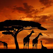 Giraffe al tramonto