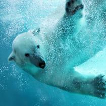 Orso bianco in acqua