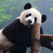 Panda in posa