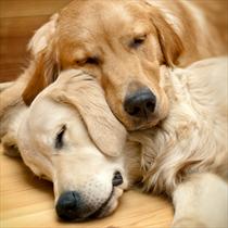 Labrador che dormono