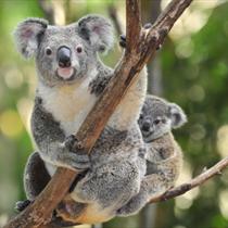Koala con il piccolo
