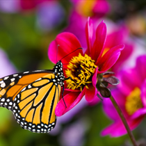 Farfalla posata su di un fiore