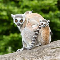 3 lemuri