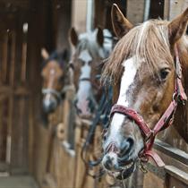 Cavalli nella stalla
