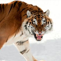 Tigre che ruggisce
