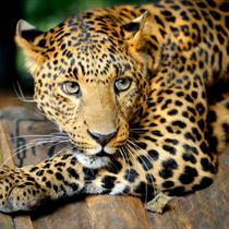 Ghepardo o leopardo?