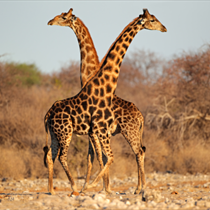 Giraffe che si abbracciano