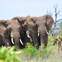 Tre elefanti