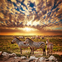 Zebre al tramonto
