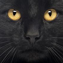 Gatto nero in primo piano