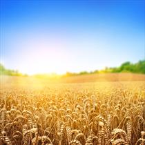 Distesa di spighe di grano