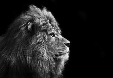 Leone in bianco e nero