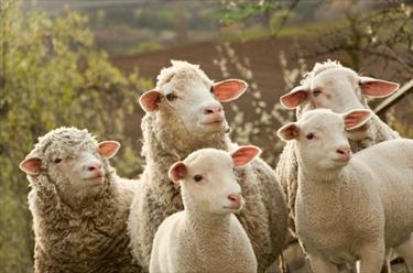 5 pecore