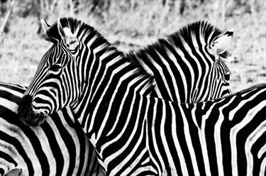 Zebre in bianco e nero