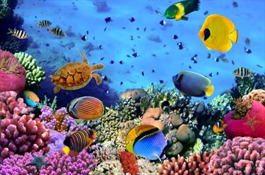 Colonia corallina