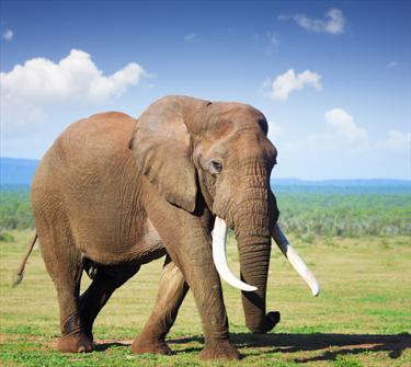 Elefante in africa