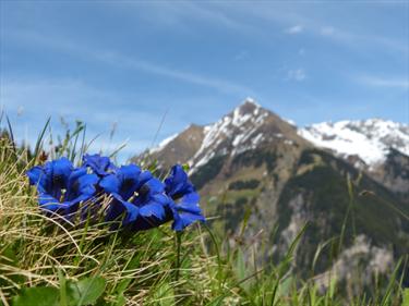 Fiori blu sulle alpi
