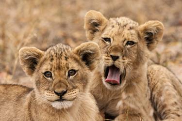 Cuccioli di leone