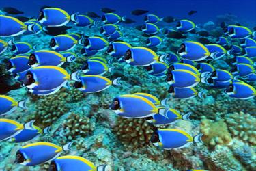 Banco di pesci blu