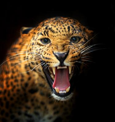 Leopardo che ruggisce