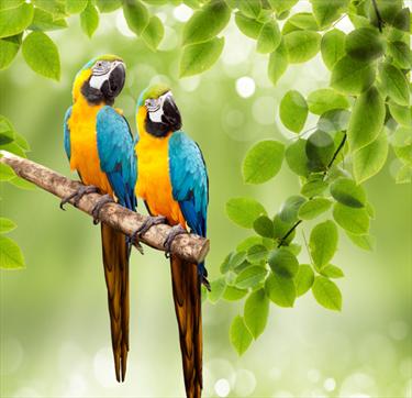 Coppia di pappagalli
