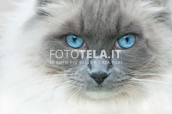 Gatto con gli occhi azzurri for Gatti con occhi diversi